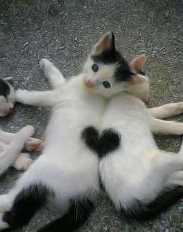 2 Chats Blanc Avec 1 Coeur Noir